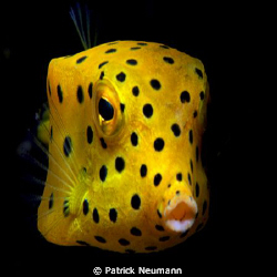 spotted boxfish taken with Canon 400D/Hugyfot by Patrick Neumann 